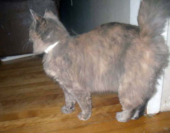 dilute pastel calico female cat  Fluffy